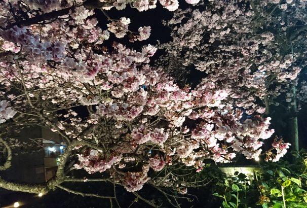 最新画像10枚 『日本一の早咲き、あたみ桜が、今年は本当に早咲き過ぎて大変なことになっている件』