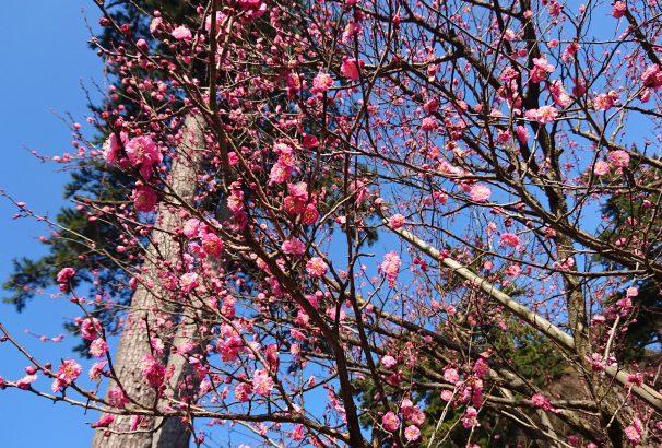 2018年1月6日、熱海梅園梅まつりスタート!12月28日現在の開花状況をお知らせします。
